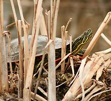 Painted Turtle Sunning Itself in Reeds by rhamm