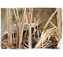 Painted Turtle Sunning Itself in Reeds Poster