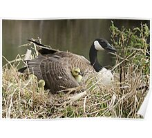 Canada Goose with Gosling Under a Wing Poster