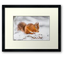 Red Squirrel searching for food Framed Print