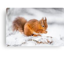 Red Squirrel searching for food Canvas Print