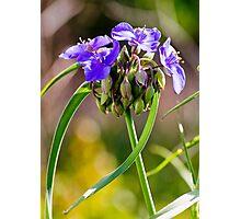 Spiderwort Photographic Print