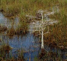 Tree in the Everglades by Eva Kato