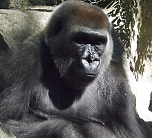 Gorilla, Bronx Zoo, Bronx, New York  by lenspiro