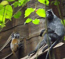 Silvered Leaf Monkey and Baby, Bronx Zoo, Bronx, New York by lenspiro
