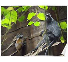 Silvered Leaf Monkey and Baby, Bronx Zoo, Bronx, New York Poster