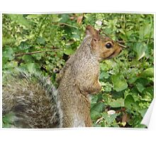 Squirrel Close-Up, Jersey City, New Jersey Poster