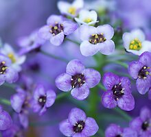 Purple and White Macro by Photopa