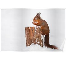 Red squirrel gathering food for Winter Poster