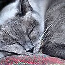 Blue Point Siamese Loki by Sheri Nye