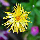 Scraggly Calendula by Orla Cahill Photography