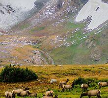 Mountain Elk by Photopa