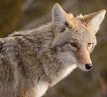 Portrait of a Bandelier Coyote by DWMMPhotography