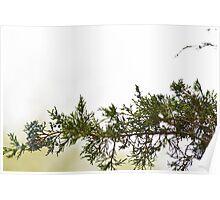 Evergreen Leaf Poster