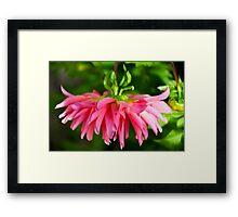 Hanging Pink Dahlia Framed Print