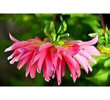 Hanging Pink Dahlia Photographic Print