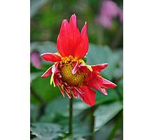 Dahlia Flowering Photographic Print