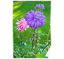 A Lilac Aster Poster