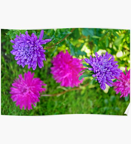 Aster Blotches Poster