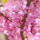Pink Blossoms by Alison Hill
