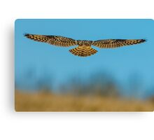 Short Eared Owl hunting over golden fields Canvas Print