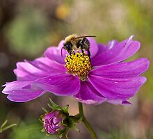Bee and Flower by John Thurgood