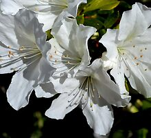 Azalea Alba by Sally Murray