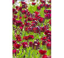 Tulips in Burgundy Photographic Print