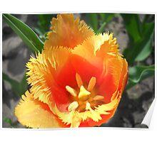 Tulip Macro # 6 Poster