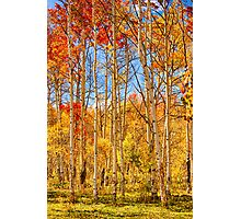 Aspen Fall Foliage Portrait Red Gold and Yellow  Photographic Print