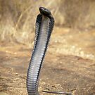 Black Spitting Cobra by Robbie Labanowski
