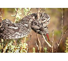 Southern Adder Photographic Print