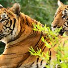 Tiger, tiger by Steve