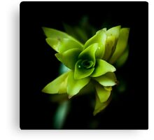 Aptenia succulent plant  Canvas Print