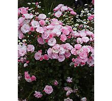 Pink roses: Bonica in bloom. Photographic Print