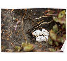 Physignathus lesueurii eggs Poster