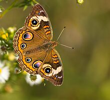 Common Buckeye 1 by Thomas Young