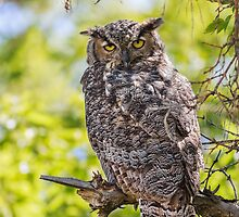 Great Horned Owl: Adjusting to the Light by John Williams
