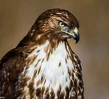 Red-tailed Hawk: A Meal Interrupted by John Williams