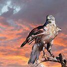 Ferruginous Hawk II by Barbara Manis