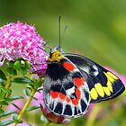 """ Delias harpalyce ""   { Butterfly Marlo } by helmutk"