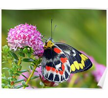 """"""" Delias harpalyce """"   { Butterfly Marlo } Poster"""