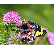 """"""" Delias harpalyce """"   { Butterfly Marlo } Photographic Print"""