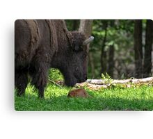 Bison and New Born Calf Canvas Print