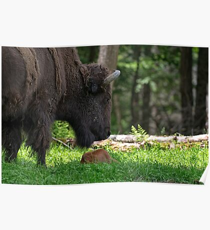 Bison and New Born Calf Poster