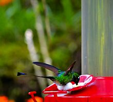 Magnificent Racket-Tail Hummingbird In Mindo by Al Bourassa