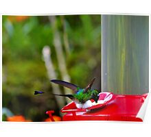 Magnificent Racket-Tail Hummingbird In Mindo Poster