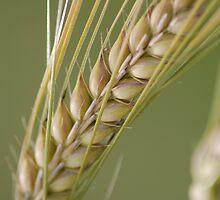 Barley breeze. by Mark Rollinson