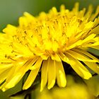 Dandelion by Photopa