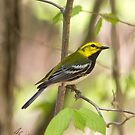 Black Throated Green Warbler by DigitallyStill